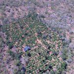 POLÍCIA: Plantação com 40 mil pés de maconha é encontrada com a ajuda de drone