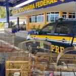 CONQUISTA: PRF resgata 14 aves silvestres mantidas em cativeiro irregularmente nesta segunda-feira