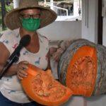 BAHIA: Agricultora na colhe abóbora 'gigante' com cerca de 40 kg em plantação